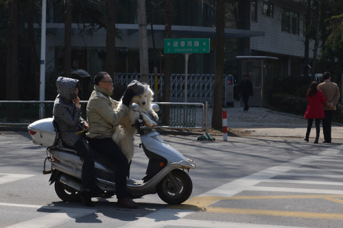 Saw this today. I love China. (It's a dog on a scooter)  (wearing an old guy's hat)