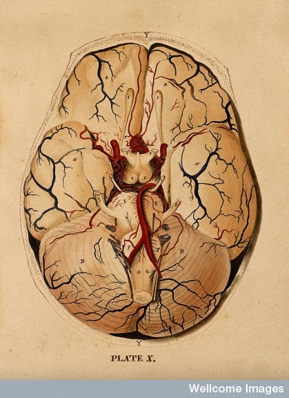 Dissection showing the base of the brain. Watercolour after(?) W.H. Lizars, ca. 1826.  Find and use this image on Wellcome Images.