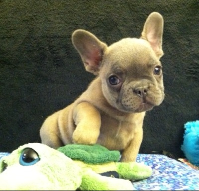 blue masked fawn frenchie. ohmygod. COME TO ME BB!!!!!!