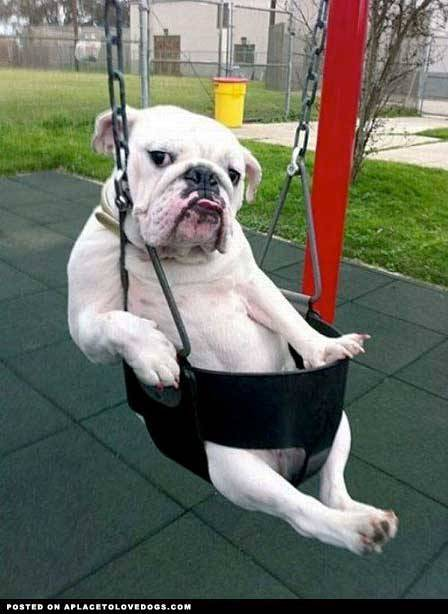 aplacetolovedogs:  izismile Nothing doing here just hanging out in a swing waiting for a push! Original Article