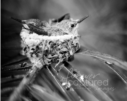 ~ Day 83 ~ Hummingbird ~ Black and White ~