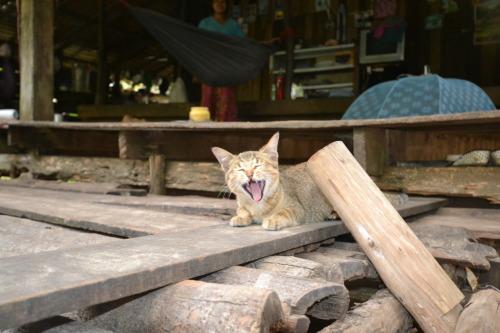 cambodian kitty