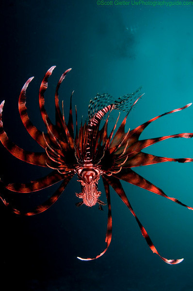 Lionfish taken from below. Anilao, Philippines. Brought to you by Underwater Photography Guide, the best online resource for divers and underwater photographers.