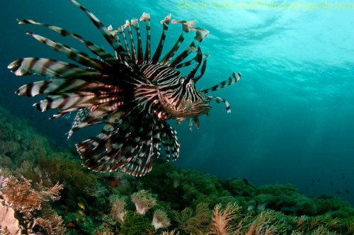 Lionfish moving through the water. Anilao, Philippines. Brought to you by Underwater Photography Guide, the best online resource for divers and underwater photographers.