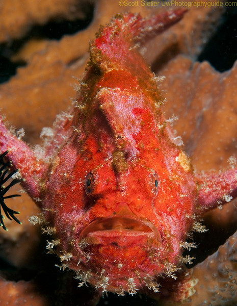 Tassled frogfish. Anilao, Philippines. Brought to you by Underwater Photography Guide, the best online resource for divers and underwater photographers.