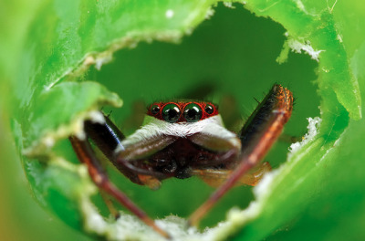adorablespiders:  Hentzia Palmarum
