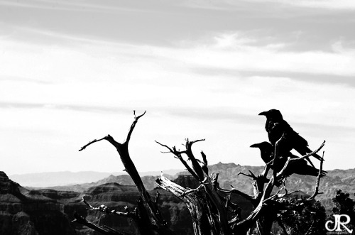 "Black birds protecting their canyon.Quoth the Raven, ""Nevermore."""