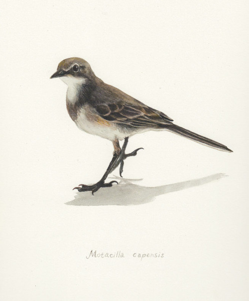 oliverscarlin:  A Cape Wagtail ~ Watercolour Painted tonight for my mum's birthday, from a photograph she took.