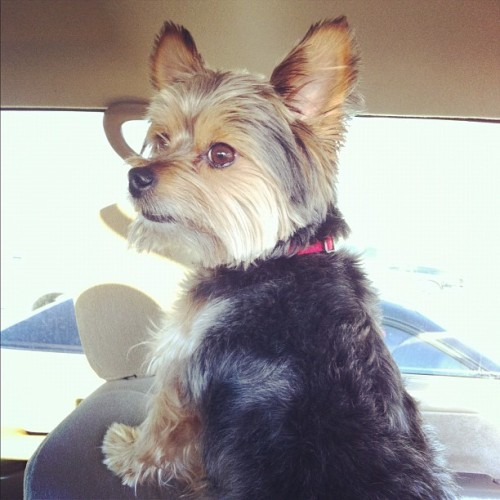 He finally posed! #yorkie #petstagram  (Taken with instagram)