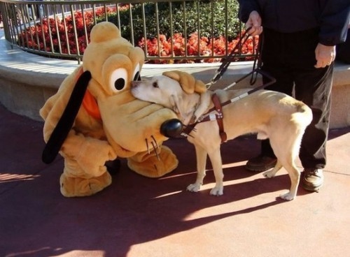 sweetandlovelygirl7:  i-like-pigeons:  A guide dog meeting Pluto at Disneyland.   ALWAYS REBLOGGGGGG