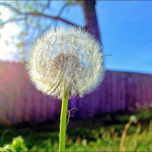 swizzlestickup:  #dandelion #instamood #iphoneonly #instagood #iphoneonly #spring #outside (Taken with instagram)