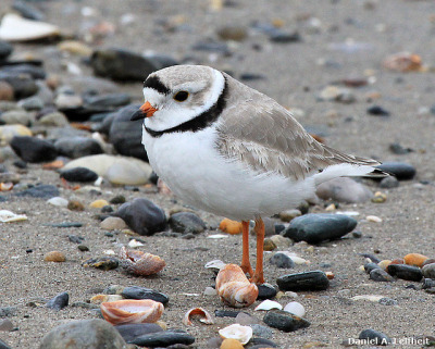 fat-birds:  Piping Plover (Charadrius melodus) by Critter Seeker on Flickr.