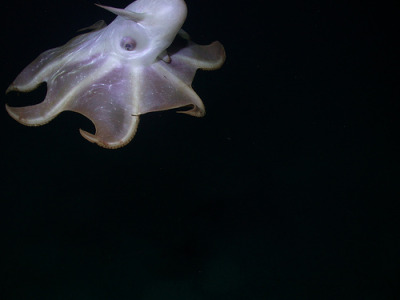 fyeah-seacreatures:  Dumbo Octopus. By: Beth! As requested :) This is perhaps one of the best photo's I've seen of the Dumbo Octopus.