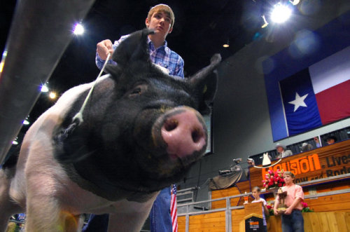 "$178,000 Is a Lot for a Pig, but This Pig Is Paying for College (New York Times)  Inevitably, the auctions turn out better for the animals' owners than for the animals themselves. Three days after the auction, Kipper was put in a trailer and driven to a meat science laboratory at Texas A & M University, where he was slaughtered and placed in a cooler. Once his drug test results come in, Kipper will be butchered, boxed and, along with 66 other top-ranking barrows, donated to charity. The four couples who bought Kipper will each receive a 54-pound gourmet pork package. The last time Mr. Leach saw Kipper was at the arena, in his pen on champions' row the day of the auction. Some of the livestock show's committees call the arena's back loading dock, where exhibitors aged 8 to 18 say goodbye to their animals, the trail of tears. ""It was one of the hardest things to do, to leave him in his pen,"" Mr. Leach said, standing by the dirt and hay in Kipper's empty stall back in Haskell. ""I miss him. I really do. I miss just kind of knowing that he knows you're there, and you know he's there.""  This is the saddest thing I've ever read."