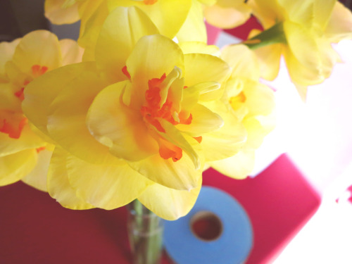 The last of Laura's crazy-amazing daffodils at Sunday Chatter.