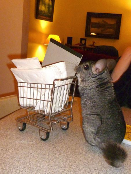 can we get a chinchilla? pleaseeee!