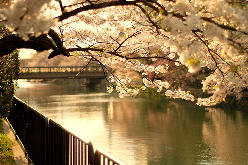 bluepueblo:  Cherry Blossom River, Sakura, Japan photo via gg