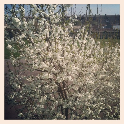 Spring has sprung: view from my office (Taken with Instagram at Taskent International School, Taskent, Uzbekistan)