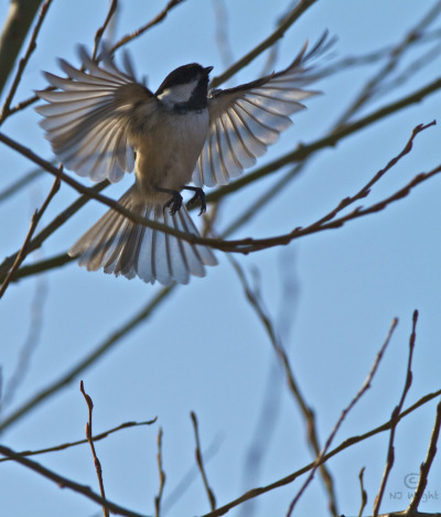 My little chickadee...I love the shadows of the branches captured through the translucent wings of this black-capped chickadee. Lucky moment!