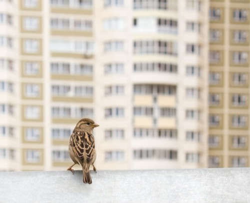 theatlantic:  Sparrows Actually Change Their Tune To Sing Over the Noise Of the City  Well it turns out city-dwellers aren't the only ones miffed by urban noise pollution. Research has long suggested that wildlife – and birds in particular – may be impacted by the man-made sounds of the city, from car horns to traffic congestion. A new study confirms that sparrows in the Presidio District of San Francisco appear to have changed their tune and raised their voices to be heard over the increasingly noisy racket of the Golden Gate Bridge. The researchers, George Mason's David Luther and Louisiana State's Elizabeth Derryberry, compared modern birdsong in the city to recordings of sparrows in the area taken in 1969. They also looked at historic noise-level data from the Environmental Protection Agency and San Francisco Department of Health, as well as traffic volumes over the Golden Gate Bridge across this time period. They found that as noise in the city increased, so too did the pitch, or frequency, of the male white-crowned sparrow song. Higher frequencies of song allow the birds to keep twittering at each other over the low-frequency ambient noise of rumbling cars. Even more surprising, the authors write in the journal Animal Behaviour, the birds also seem in the last four decades to have literally changed their repertoire. […] It's probably good news for these sparrows that they've figured out how to adapt (and good news for urban bird-lovers that this wildlife isn't simply fleeing the city all together). But there's also something sort of disturbing about the implication that cities can distort the natural environment right down to birdsong. In some ways, noise matters even more for birds than it does for humans: Birds sing to defend their territory and to attract mates (life's two most important goals!), and excessive noise threatens that. Read more. [Image: Shutterstock]