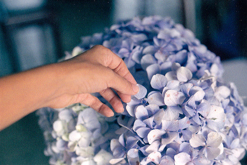 amatterofcourse:  hydrangeas (by gonzgarc)