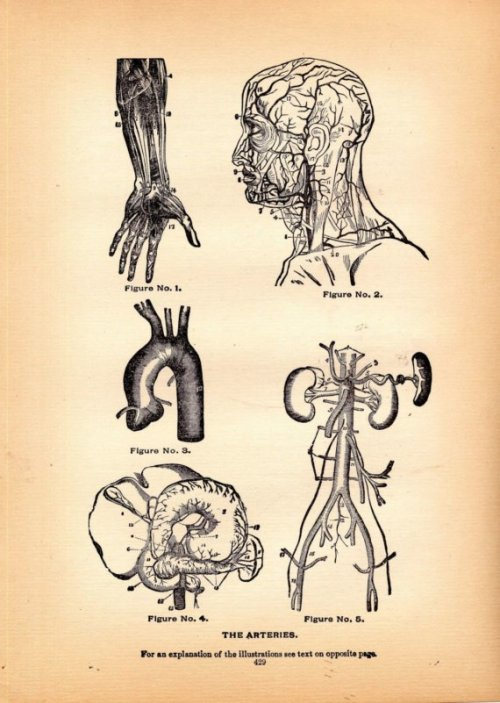 fuckyeahmedicaldiagrams:  1908 Medical Illustration - The Arteries