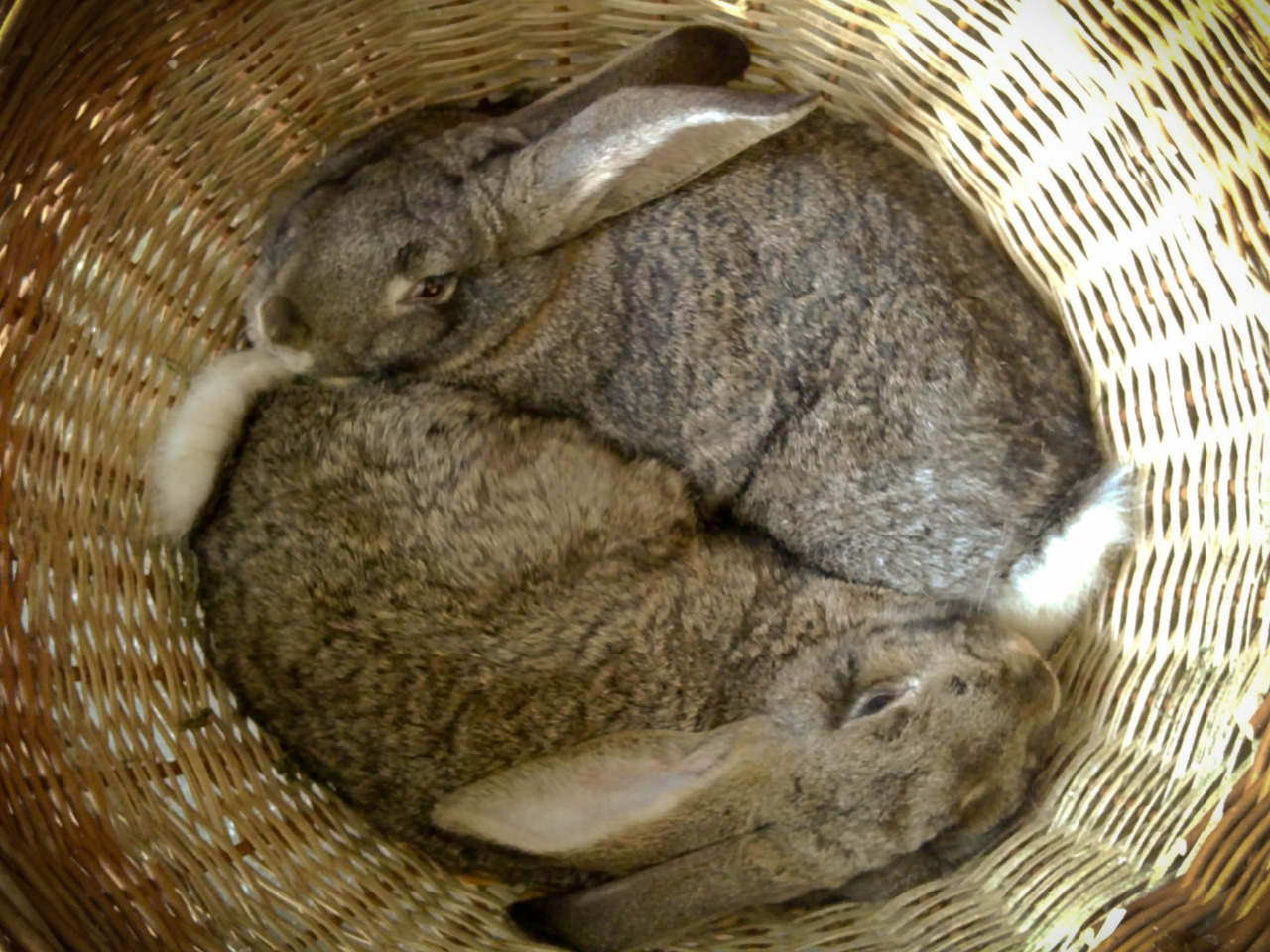 Two rabbits snuggling in a basket. Just how awesome is that ?