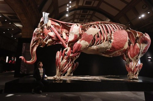 laughingsquid:  Animals Inside Out, An Exhibition of Animals Preserved by Plastination  Hoping this exhibit comes closer to home in the future…