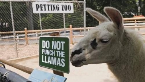Do Not Punch the Llamas Man, that llama must be a huge jerk if they have to put up this sign.
