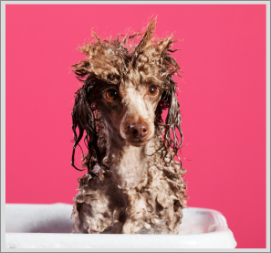 We want to see a picture of your pooch getting a bath or being brushed or trimmed! Enter our i Love Dogs Coats Contest! Enter now.