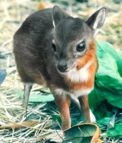 earth-song:  World's Tiniest Antelope Born in Tampa! -  by zooborns