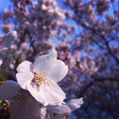 #cherryblossoms #sakura #flowers #flower (Taken with instagram)