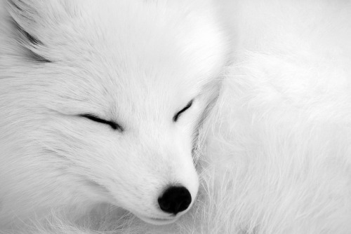 eatmycukaroll:  artic fox sleepy by RoscoexiRangersFC on Flickr.