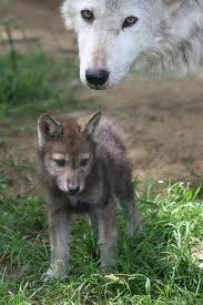 findinglogan:  baby wolf and papa wolf