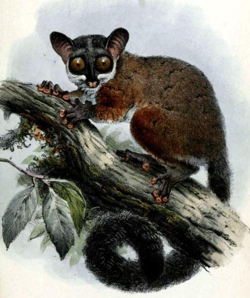 biomedicalephemera:  Galago alleni -Bioko Allen's Bushbaby This lesser bushbaby is a member of the Galagidae family, and is closely related to the greater galagos and lorises. Unlike lorises, galagos are very nimble and quick, and hunt insects using speed, rather than stealth. Physiologically, however, they've very similar. One of the primary adaptations of the galagos is the flattened discs on the hands and feet, which allow for much easier grip of tree limbs. The huge eyes facilitate nighttime foraging in deep forests, and the consumption of human souls. Proceedings of the Zoological Society of London. 1861.