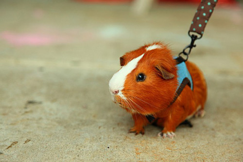 Ricky wants to take our guinea pig for a walk soon haha