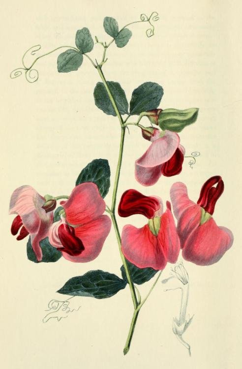 biomedicalephemera:  Lathyrus grandiflorus -The Two-Flowered Everlasting Pea The everlasting pea is a species of the genus Lathyrus (pea plants) that's indigenous to Great Britain. It doesn't set down seed well, and is not considered healthy to eat, when it does (much like the sweet pea). However, despite its difficulty of cultivation in a home garden, everlasting peas are still popular ornamentals, and the seedlings are available at most greenhouses and nurseries throughout Europe. The tendrils that you see at the end of each stem will climb trellises and other plants easily, so it's inadvisable to plant everlasting peas near any other herbaceous growths. Flora Conspicua; A Selection of the Most Ornamental Flowering, Hardy, Exotic and Indigenous Trees, Shrubs, and Herbaceous Plants, For Embellishing Flower-Gardens and Pleasure-Grounds. Richard Morris, 1826.