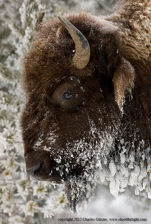 "magicalnaturetour:  ""Frozen Bison Portrait"" by Charles Glatzer :)"