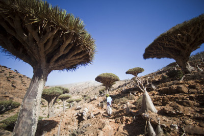 "382 DAYS - 365 PHOTOS - Photo 317, taken March 3, 2012, Socotra, Yemen. Long ago and far away (from you, most likely) a sultan's daughter fell ill. To help his daughter, the sultan announced that anyone who could find a cure for his daughter's illness could have any treasure in the sultan's reach, which was as far as the eye could see and as wild as the mind could imagine. Doctors from all corners of the earth came to help the princess, but none could find a cure. And the girl became gravely ill. To continue reading ""The Myth of the Dragon Blood Tree"" click here. To see more photography from the strange island of Socotra click here. 382 DAYS - 365 PHOTOS is a series of photographs from the archives of jonahkessel.com. Photographs span over eight years and include locations from all around the world. They fall in no particular order, but their own.  For an explanation of why there are 382 days in this photo series instead of the traditional 365 days, see this link. To make bets on how many days will actually pass by the time it takes Jonah to post 365 pictures, see this link."