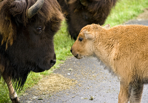 teamydeer:  Bison and calf (by canopic) One of the most majestic animals, in my opinion. And so cute.