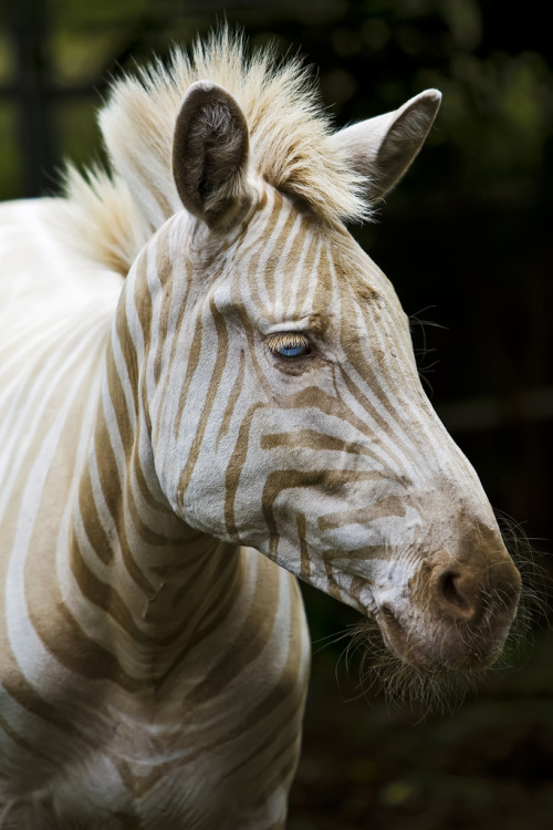 pawsupgagalove:  Born on the island of Moloka`i, Hawaii, Zoe is the only known captive white (golden) zebra in existence. You can read more about her here.  amazing