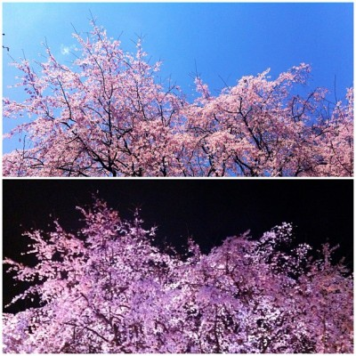 Night and Day #cherryblossoms #sakura #weepingcherry #flowers #flower (Taken with instagram)