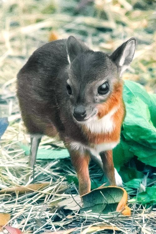 The Royal Antelope is the world's smallest species of antelope, standing only 10-12 inches high as adults. This baby born February 23 at Tampa's Lowry Park Zoo