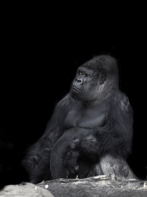 fyeahgreatapes:  A gorgeous silverback at Taronga Zoo, Australia. © iltby photography  There have been some Ridiculously Photogenic Gorillas on this blog lately.