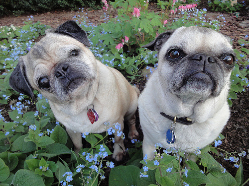 wombatarama:  pugs popping out of the flowerbed (by wombatarama)