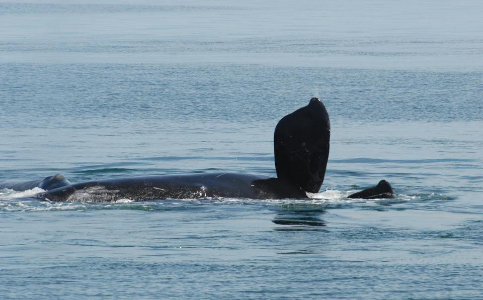App keeps whales, ships safely apart  - A new system that uses satellites, listening buoys, and iPads lets ship captains steer clear of a species that's on the brink of extinction.