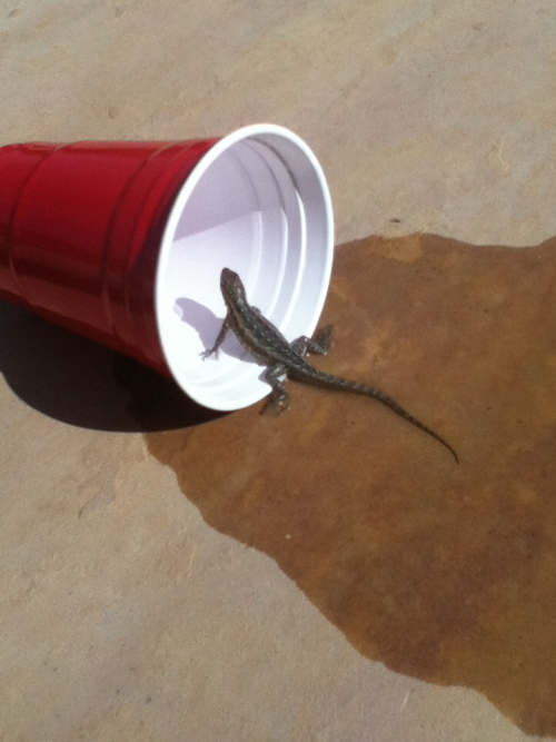 Saving drowning lizards from pools since '98.