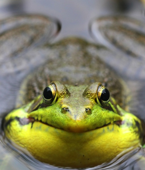 "firepaw:    Monsanto's Round-Up is Morphing Frogs .  Roundup Linked to Animal Shape Changes The world's most popular weed killer can induce morphological changes in vertebrate animals, U.S. biologists studying its effect on amphibians say. University of Pittsburgh researchers have found that the weed killer Roundup, in sub-lethal and environmentally relevant concentrations, causes two species of amphibians to change their shape by interfering with the hormones of tadpoles and potentially many other animals. The study, ""New effects of Roundup on amphibians: Predators reduce herbicide mortality; herbicides induce antipredator morphology"" is the first to show that a pesticide can induce morphological changes in a vertebrate animal, biological sciences Professor Rick Relyea, PhD, said in a university release. The study was undertaken using simple created wetlands and introducing tadpoles from three species of amphibians –the leopard frog, American toad, and wood frogs. After three weeks, the tadpoles were examined. The impact of Roundup on the shape of tadpole tails was most noticeable in both the wood frog and leopard frog tadpoles… Roundup is a systemic, broad-spectrum herbicide produced by Monsanto. Glyphosate, the active ingredient in Roundup, is a general herbicide used for eradication of broadleaf weeds. It has been linked to a number of serious human health effects, including increased cancer risk and neurotoxicity, as well as eye, skin, and respiratory irritation. Glyphosate is used in almost all agricultural and urban areas of the United States.   _______________ photo-naturallycuriouswithmaryholland.wordpress.com  chemicalfreelife"