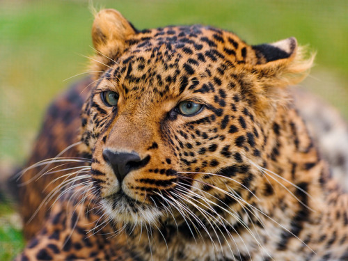 daily-animals:  stayplanetary:  Cute leopard portrait by Tambako the Jaguar on Flickr.  You have to follow this blog, it's amazing