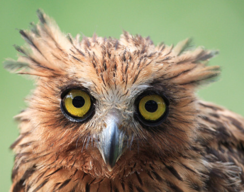 fairy-wren:  buffy fish owl (photo by william ip)